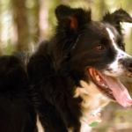 Milo - Border Collie Available for Adoption