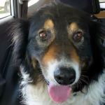 Tuscon - Border Collie Available for Adoption