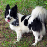 Beatty - Border Collie Available for Adoption