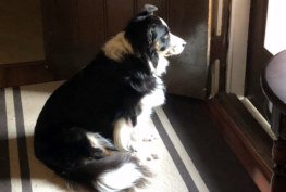 Nora - Border Collie Available for Adoption