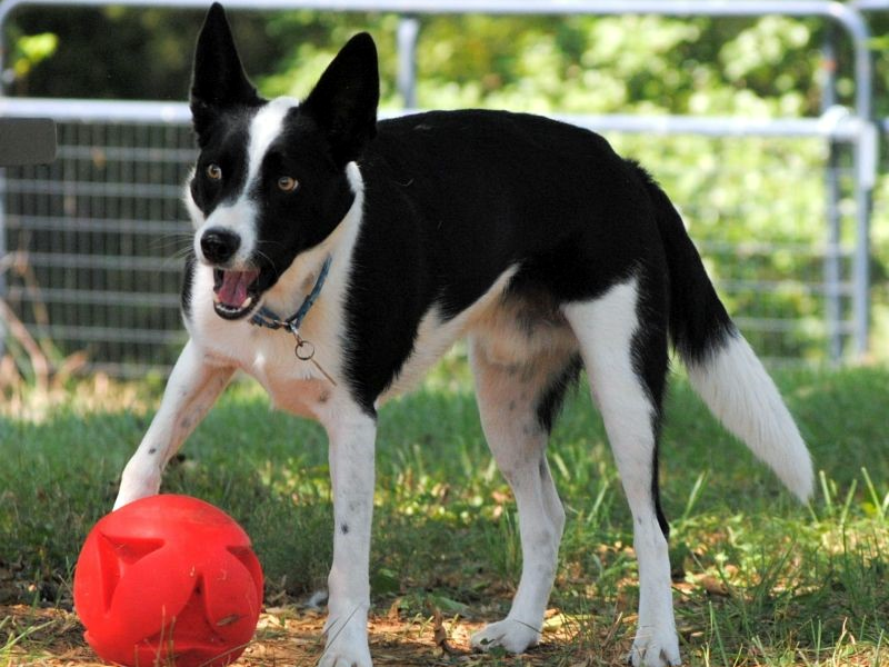 Zip - Border Collie Available for Adoption