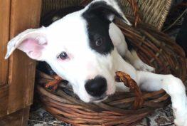 remy_border_collie_puppy