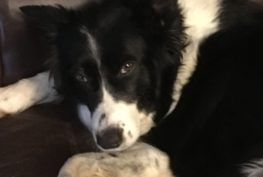 molly-border-collie