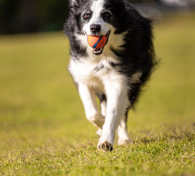 stella-border-collie-with-ball