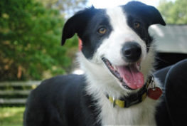 samantha-border-collie