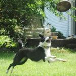 samantha-border-collie-jumping