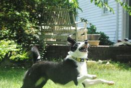 samantha-border-collie-jumping