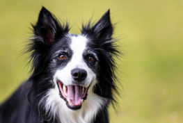 stella-border-collie