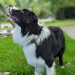 tommy-border-collie