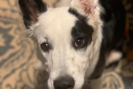 bessie-border-collie