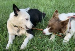 bessie border collie and friend playing
