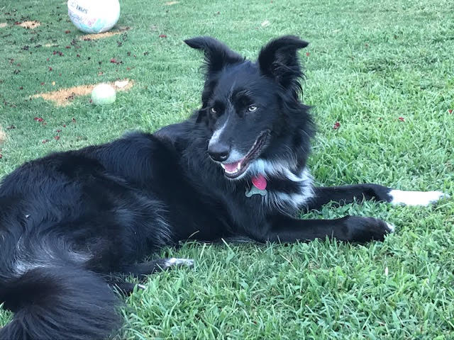 luna-border-collie
