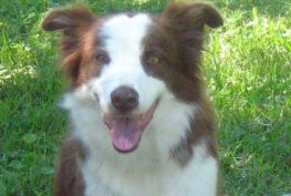 abbi-border-collie