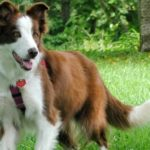 princess-abbi-border-collie