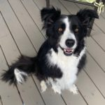 wyatt border collie