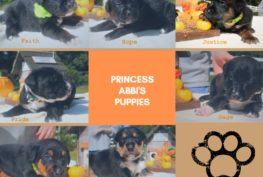 princess-abbi-puppies
