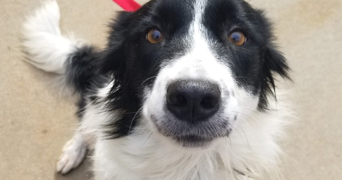 callie border collie