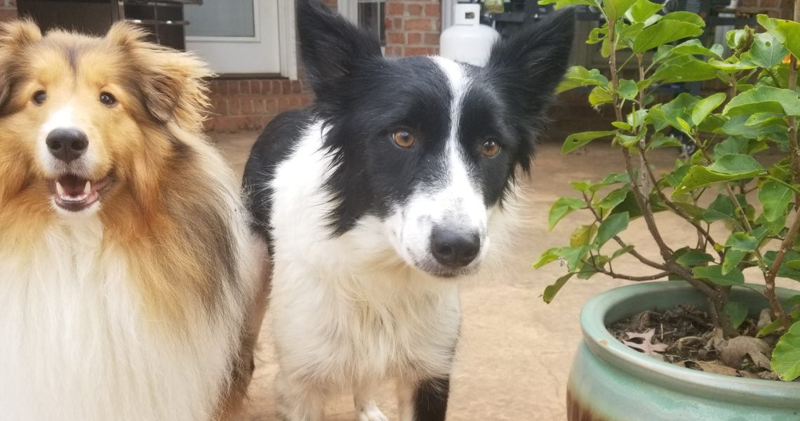 callie and sheltie