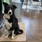 Lyla border collie